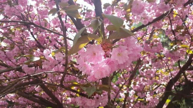 Cherry blossom sakura (Prunus Cesacoides, Wild Himalayan Cherry) in springtime video