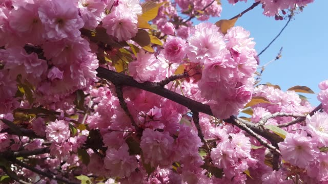 Cherry blossom sakura (Prunus Cesacoides, Wild Himalayan Cherry) is very beautiful video