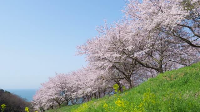 vídeos de stock, filmes e b-roll de flor de cerejeira. sakura - cerejeira árvore frutífera