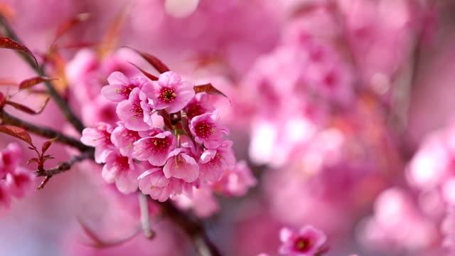 Cherry Blossom shift focus, HD video
