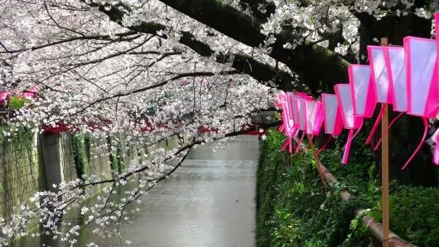 cherry blossom sights of tokyo - японский фонарь стоковые видео и кадры b-roll