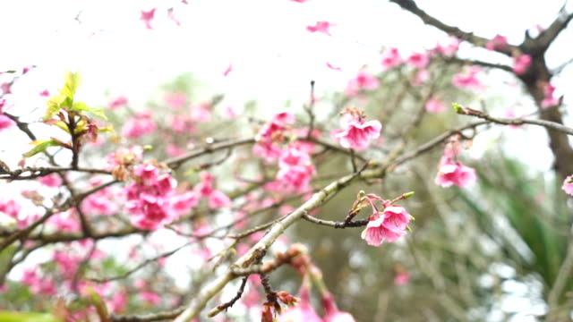 Cherry Blossom slow motion in the morning, Blooming Pink Japanese Sakura video