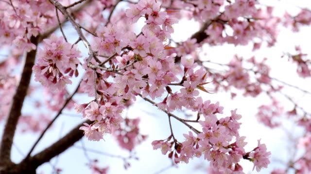 vídeos de stock, filmes e b-roll de árvore de flor de cerejeira (sakura) na primavera - cerejeira árvore frutífera