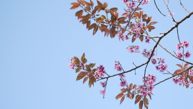 Cherry blossom tree or Sakura flower tree blossom in PhuLomLo Loei Province, Phitsanulok Province, Thailand