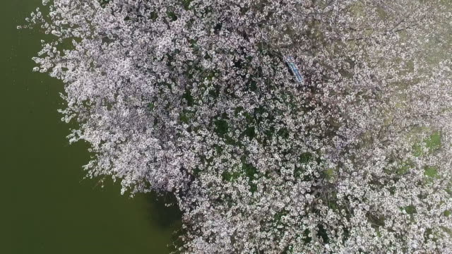 cherry blossom tree video