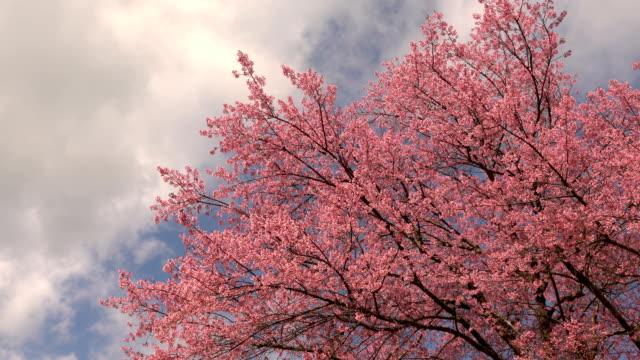 Cherry blossom tree with blue sky and clouds Cherry blossom tree with blue sky and clouds. cherry tree stock videos & royalty-free footage