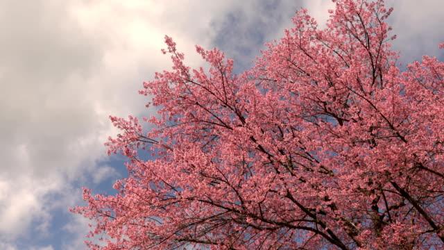 vídeos de stock, filmes e b-roll de árvore de cerejeira com céu azul e nuvens - cerejeira árvore frutífera