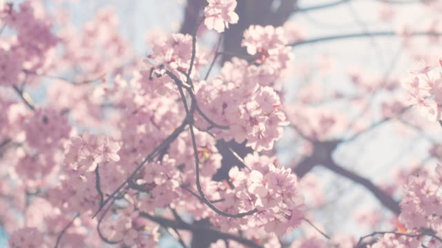 cherry blossom tree with blue sky - spring stock videos & royalty-free footage
