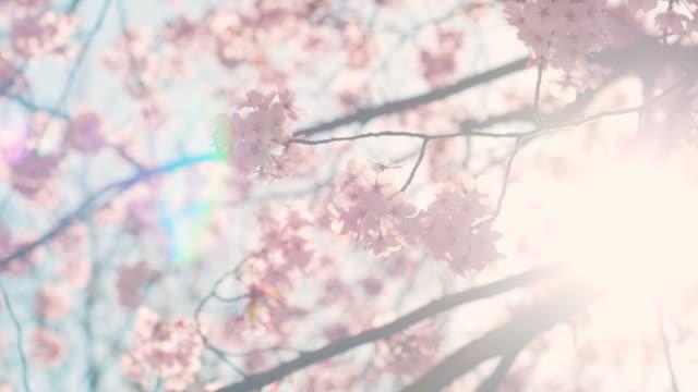 Cherry blossom tree with blue sky