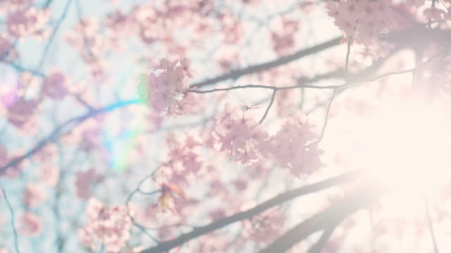 cherry blossom tree with blue sky - япония стоковые видео и кадры b-roll