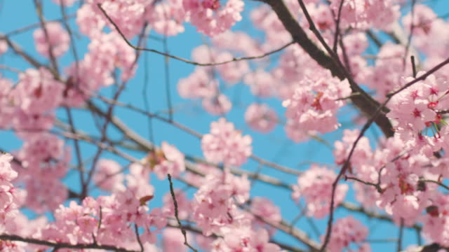 vídeos de stock e filmes b-roll de cherry blossom tree with blue sky - natureza close up