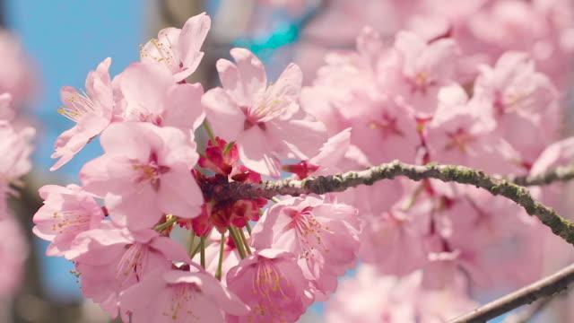 青空と桜の木 - 桜点の映像素材/bロール