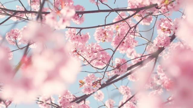 青空と桜の木 ビデオ