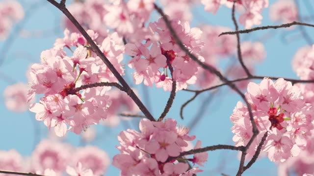 cherry blossom tree with blue sky - summer background filmów i materiałów b-roll
