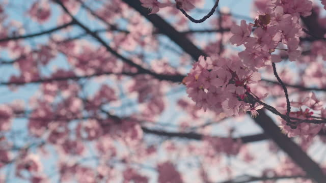 cherry blossom tree with blue sky - cherry blossom stock videos and b-roll footage