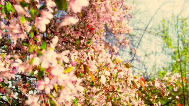 cherry blossom tree with pink petals being blown in wind. - colore ciliegia video stock e b–roll