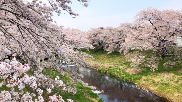 vídeos de stock, filmes e b-roll de árvores de cerejeira junto ao rio no conceito de day.nature e paisagem ensolarado - cerejeira árvore frutífera