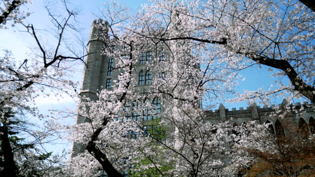 Cherry blossom trees at Kyung Hee University in Seoul, South Korea.