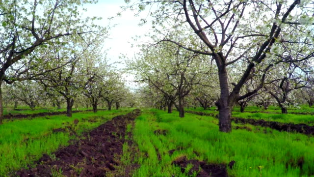 Cherry Blossom Trees. video