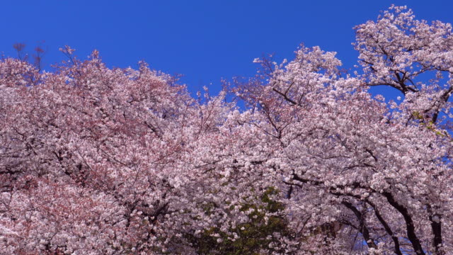 Cherry blossom Cherry blossom floral pattern stock videos & royalty-free footage