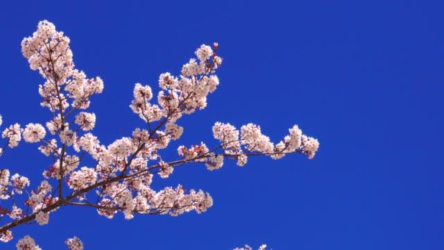 vídeos de stock, filmes e b-roll de flor de cereja - cerejeira árvore frutífera