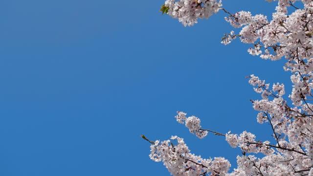 桜。 - 桜点の映像素材/bロール