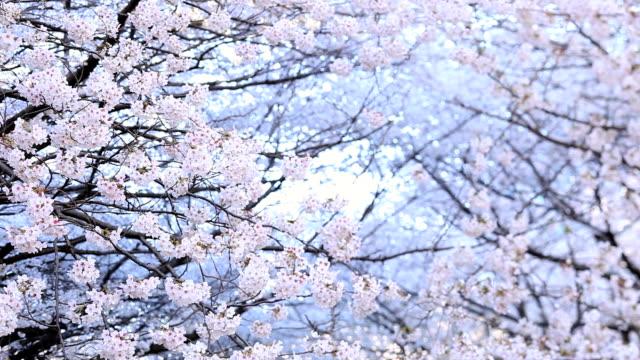 vídeos de stock, filmes e b-roll de cherry blossom - cerejeira árvore frutífera
