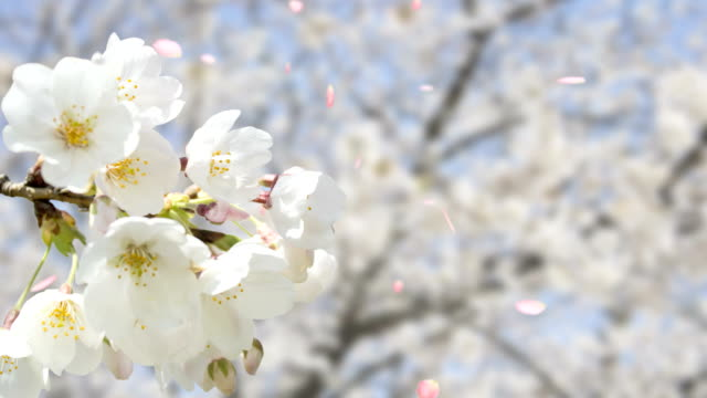 cherry blossom White video
