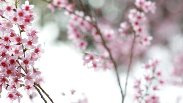 Cherry blossom with Bokeh