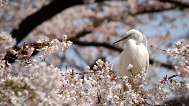 Cherry Blossom with heron close shot at Kanda river It's a beautiful flower in Tokyo. buddhism stock videos & royalty-free footage