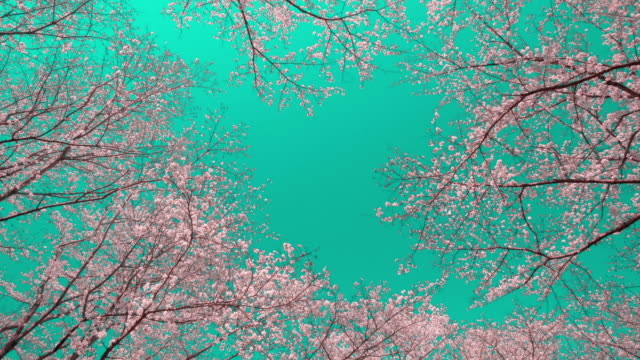 Cherry blossoms against clear blue sky