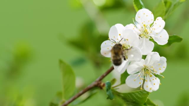 körsbärsblommor och ett arbetsbi som flyger från ett till ett annat i naturen - äppelblom bildbanksvideor och videomaterial från bakom kulisserna