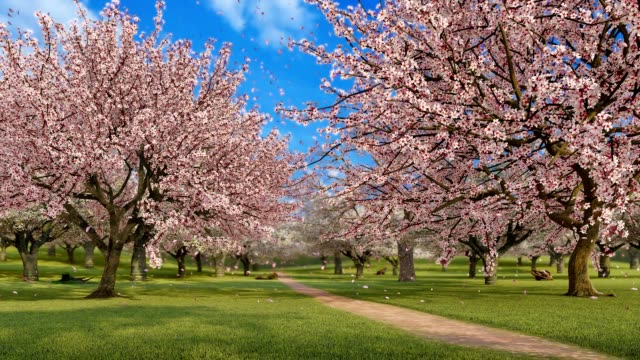 Cherry blossoms and falling petals in slow motion 3D animation