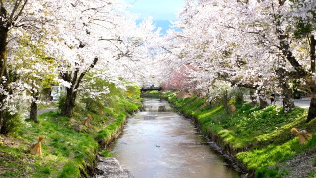 vídeos de stock, filmes e b-roll de flores de cerejeira e rio tranquilo em oshino hakkai, tiro de câmera lenta - cerejeira árvore frutífera