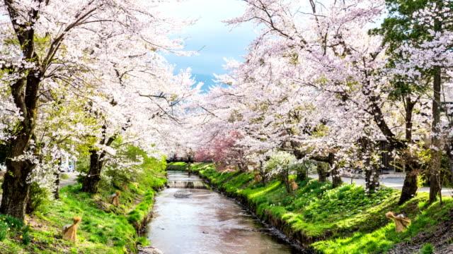 vídeos de stock, filmes e b-roll de t/l zo cerejeiras e rio tranquilo em oshino hakkai - cerejeira árvore frutífera