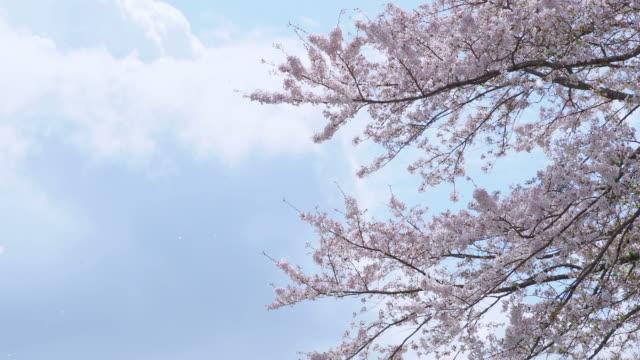 vídeos de stock, filmes e b-roll de flores de cerejeira estão caindo. - cerejeira árvore frutífera