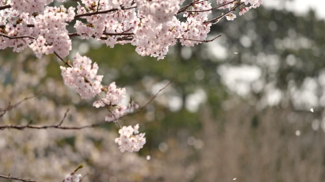Cherry blossoms are falling.