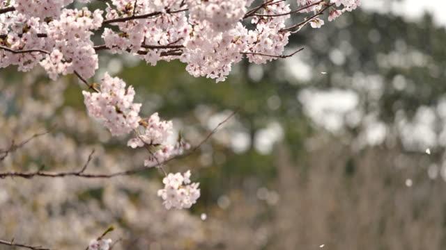 vídeos de stock, filmes e b-roll de as flores de cereja estão caindo. - cerejeira árvore frutífera