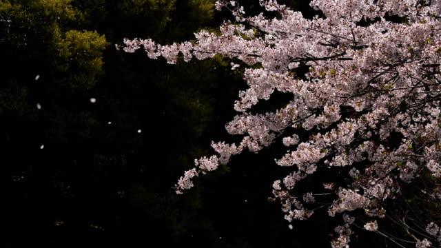 桜が咲き始めている。 - 桜点の映像素材/bロール