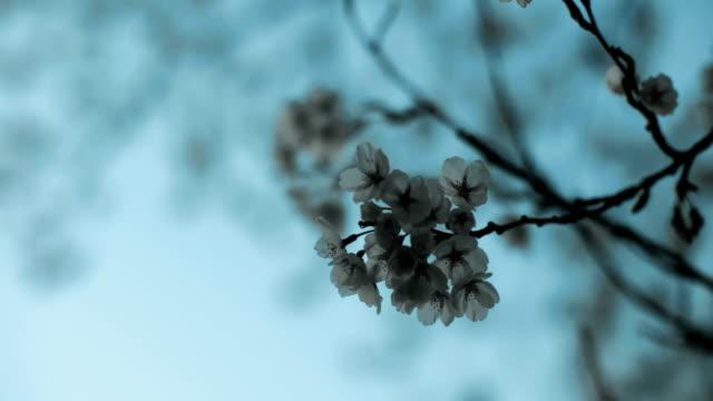 körsbärsblommor på peak bloom. 4k uhd. - 4 kilometer bildbanksvideor och videomaterial från bakom kulisserna