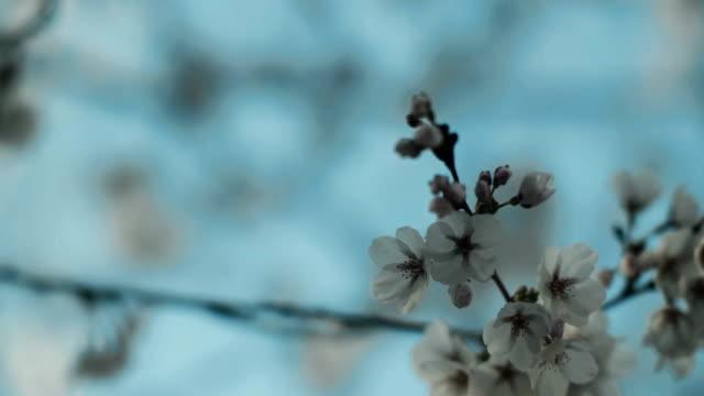 cherry blossoms på peak bloom i perfekt ljus. - 4 kilometer bildbanksvideor och videomaterial från bakom kulisserna