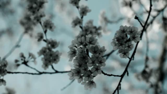 körsbärsblommor på peak bloom. - 4 kilometer bildbanksvideor och videomaterial från bakom kulisserna
