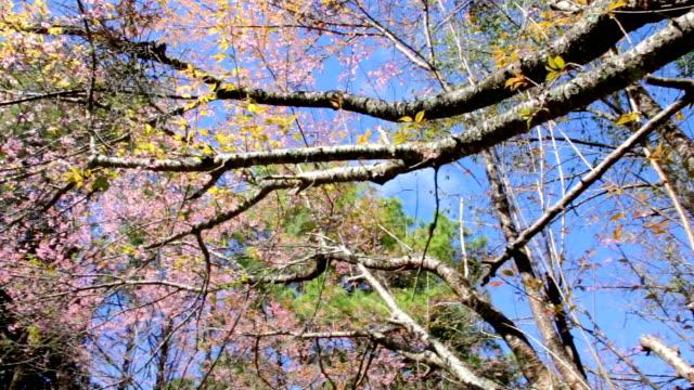 Cherry blossoms bellow shot video