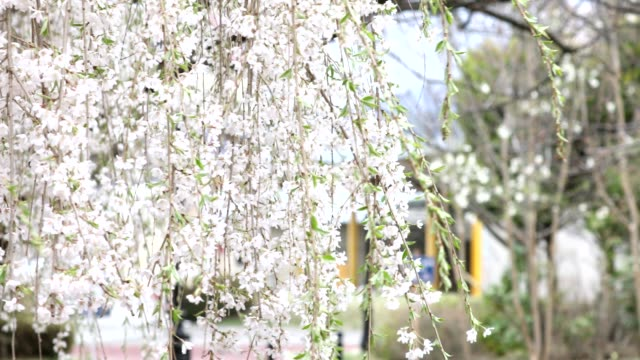 Cherry blossoms blooming in spring shake in the wind. video