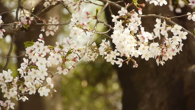 Cherry blossoms: flowers against falling petals in woods video