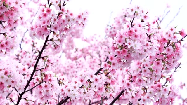 Cherry blossoms fluttering in the wind Shot with Sony midday stock videos & royalty-free footage