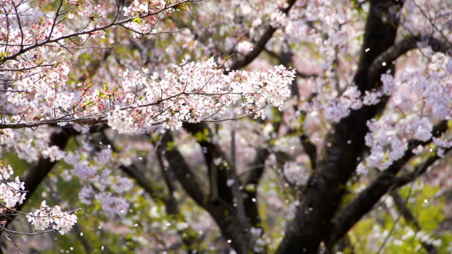 Cherry blossoms in falling petals video