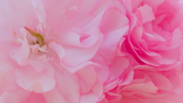 vídeos de stock e filmes b-roll de cherry blossoms in full bloom swaying in the wind - flower white background