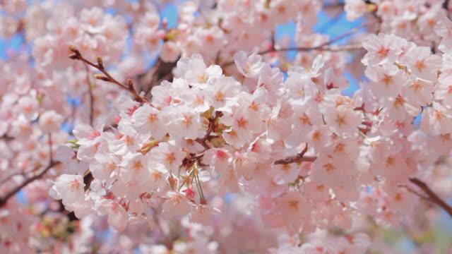風に揺れる満開の桜 - 桜点の映像素材/bロール