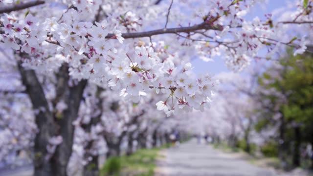 満開の桜 - 桜点の映像素材/bロール